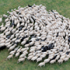 Herding Bias
